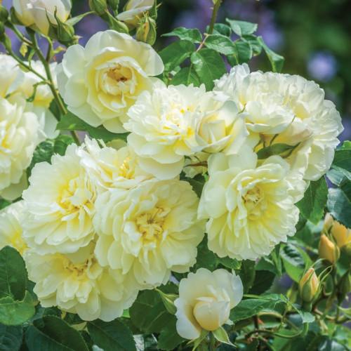 Роза Imogen