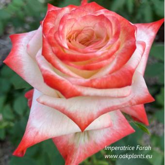 Роза Imperatrice Farah