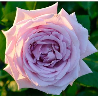 Роза Indigoletta