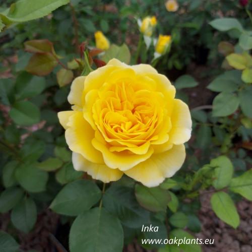 Роза Inka