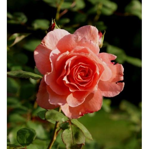 Роза Institut Lumiere