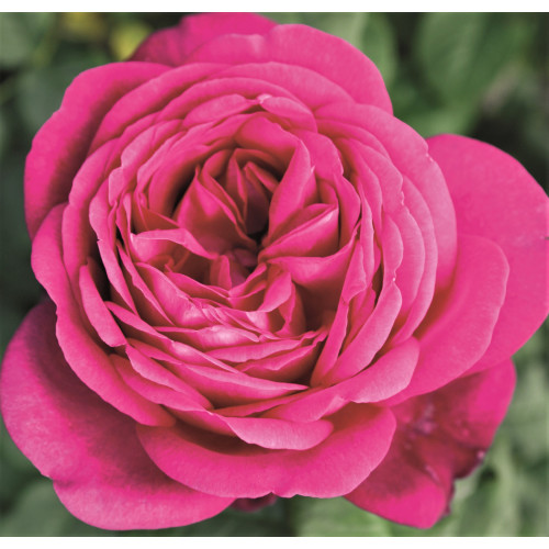 Роза J. W. v. Goethe Rose