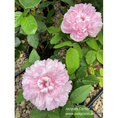 Роза Jacques Cartier