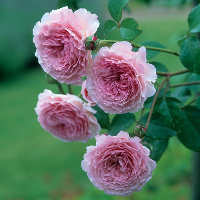 Роза James Galway