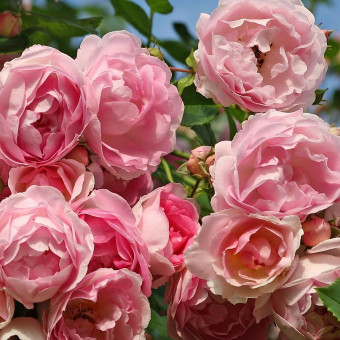 Роза Jasmina