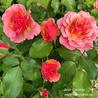 Роза Jean Cocteau