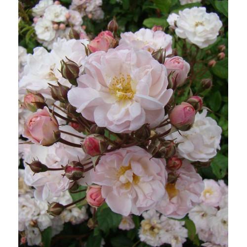 Роза Jean Stephenne