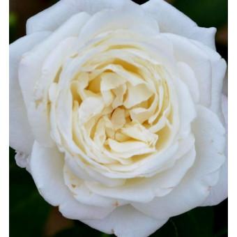 Роза Jeanne Moreau