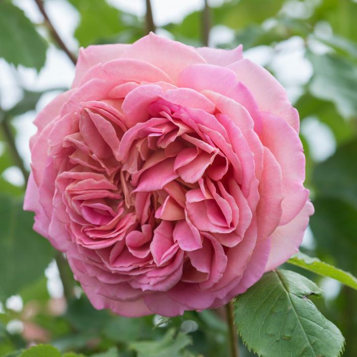 Роза Jubilee Celebration