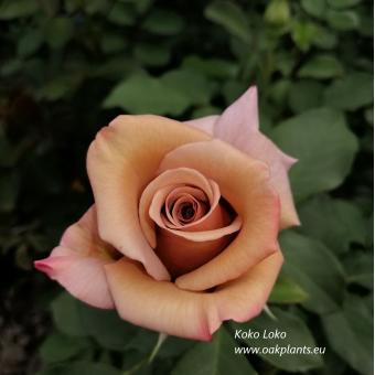 Роза Koko Loko