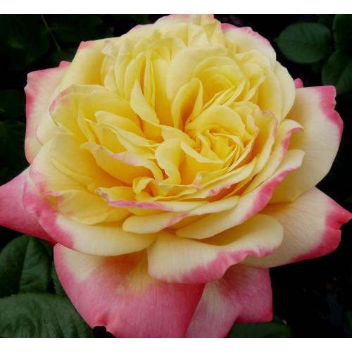 Роза Kordes' Jubilee