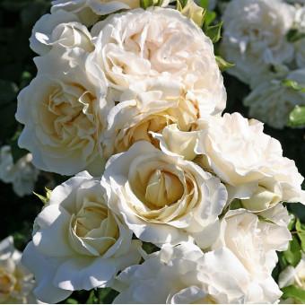 Роза Kosmos