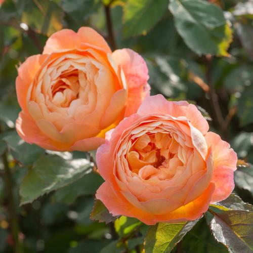 Роза Lady Emma Hamilton