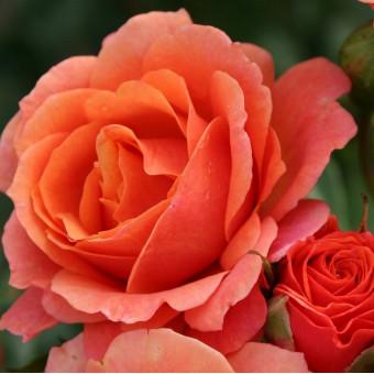 Роза Lambada
