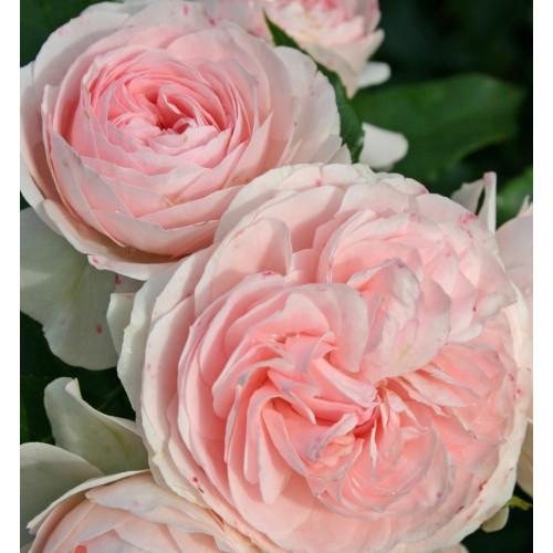 Роза Larissa