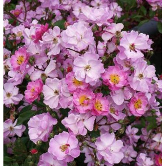 Роза Lavender Dream