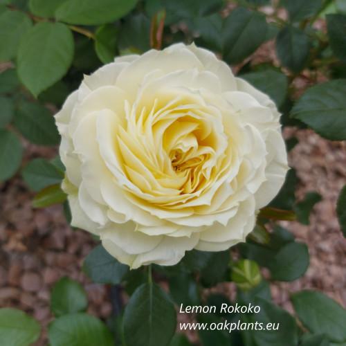 Роза Lemon Rokoko