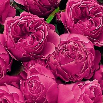 Роза Leonardo da Vinci