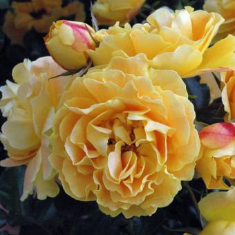 Роза Lizzy