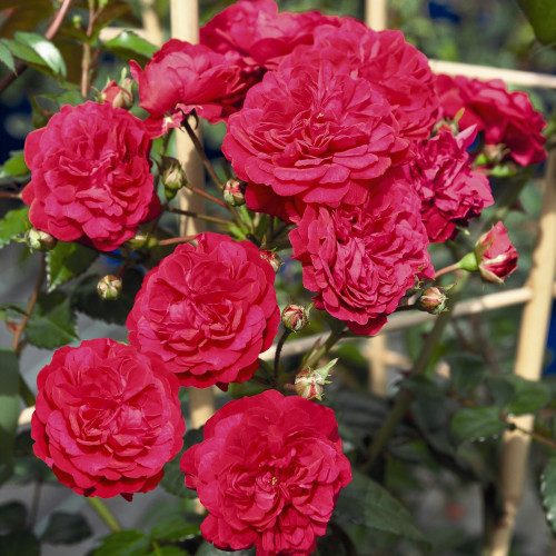 Роза Lola