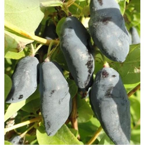 Камчатска боровинка Blue Banana