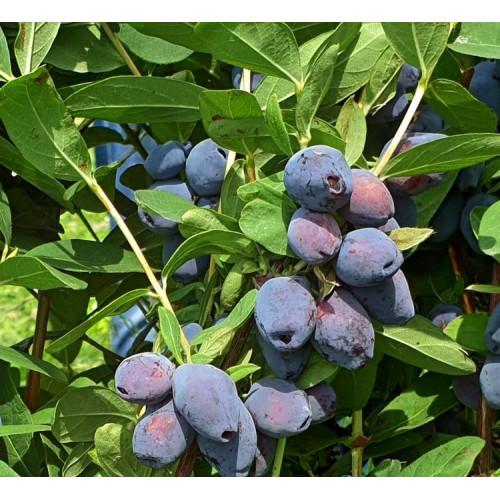 Камчатска боровинка Blue Treasure