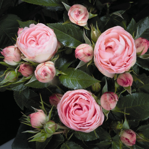 Роза LovelyRokoko