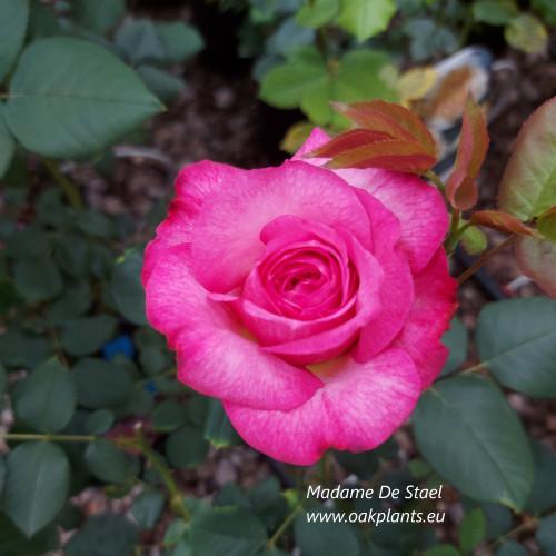 Rose Madame de Stael