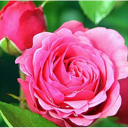 Роза Magic Rokoko