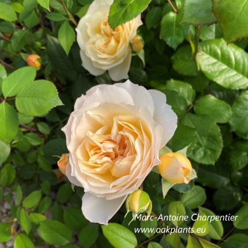 Роза Marc-Antoine Charpentier