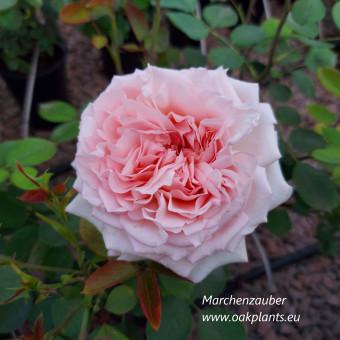 Роза Marchenzauber