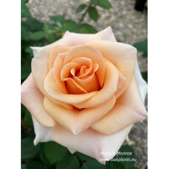 Роза Marilyn Monroe