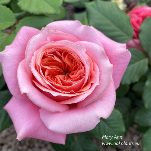 Роза Mary Ann