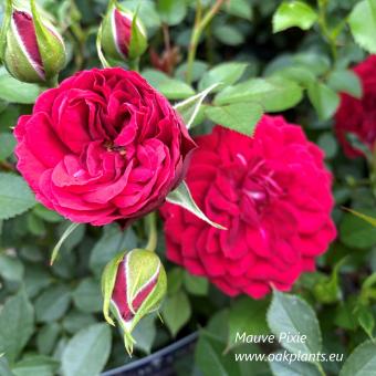 Роза Mauve Pixie