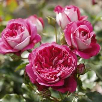 Роза Maxim