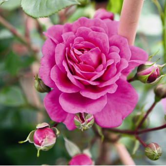Роза Melina
