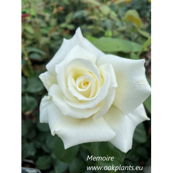 Роза Memoire