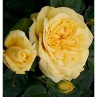 Роза Michelangelo