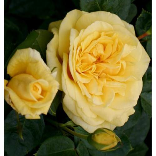 Rose Michelangelo