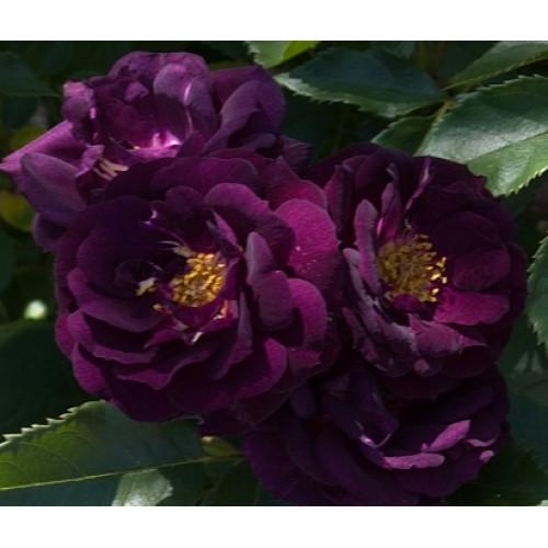 Роза Midnight Blue