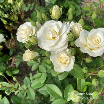 Роза Midsummersnow