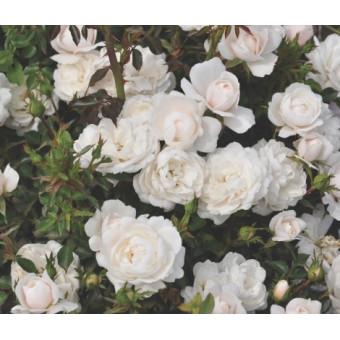 Роза Milky Pixie