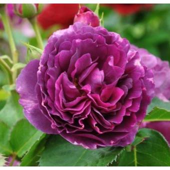 Роза Minerva