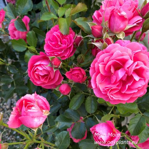 Роза Moin Moin