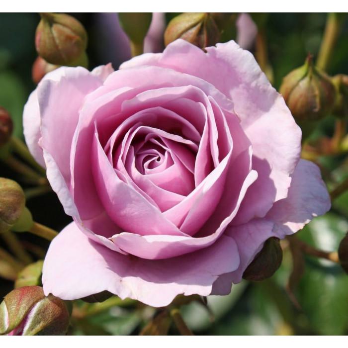 Роза Nautica