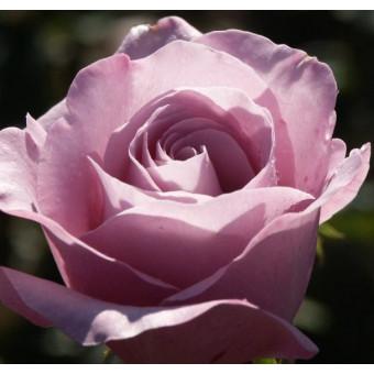 Роза Neptune