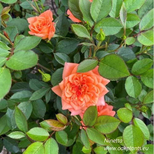 Роза Ninetta