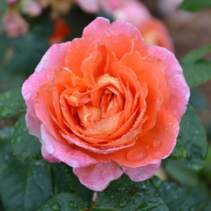 Роза Notre Dame du Rosaire