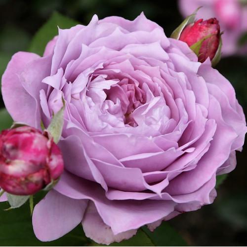 Роза Novalis