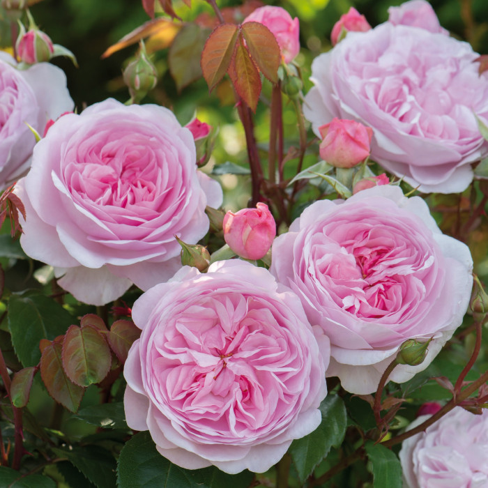 Роза Olivia Rose Austin
